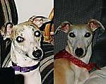 2whippets